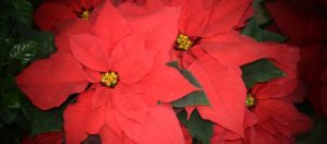 Poinsettia ή Αλεξανδρινό: Το πολύχρωμο φυτό και ο λόγος που συνδέεται με τα Χριστούγεννα