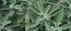 Αυτό είναι το βότανο της αθανασίας – Τί προσέφερει στον οργανισμό μας;