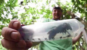 Ανακαλύφθηκε γιγαντιαία μέλισσα και είναι… ζωντανή! Έχει το μέγεθος ενός αντίχειρα!