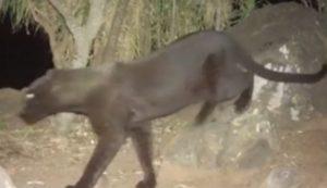 """Ο """"μαύρος πάνθηρας"""" ζει! Εμφανίστηκε στην Αφρική πρώτη φορά μετά από 100 χρόνια"""