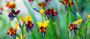 Το άγριο λουλούδι «θησαυρός» των ελληνικών βουνών που πωλείται 200 ευρώ το κιλό!