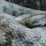 Το μεγαλύτερο φίδι της Ευρώπης ζει στην Κύπρο