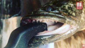 Φιδοκέφαλο ψάρι που ζει και στην στεριά – «Αν το δείτε σκοτώστε το!»