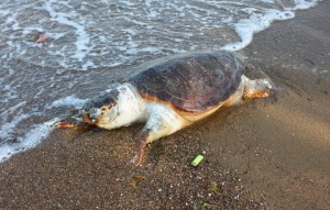 ΣΤΕΡΕΑ ΕΛΛΑΔΑ: Βρέθηκε νεκρή χελώνα καρέτα-καρέτα