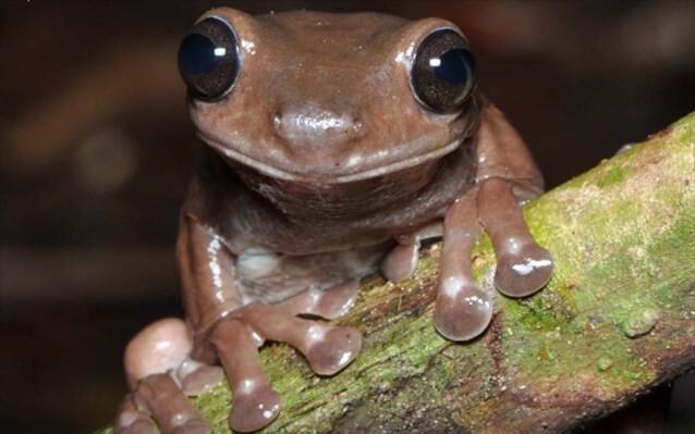 Ανακάλυψαν «σοκολατένιο βάτραχο»